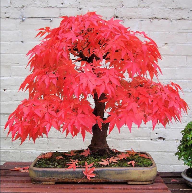 bouturere erable du japon plante d intérieur décorative