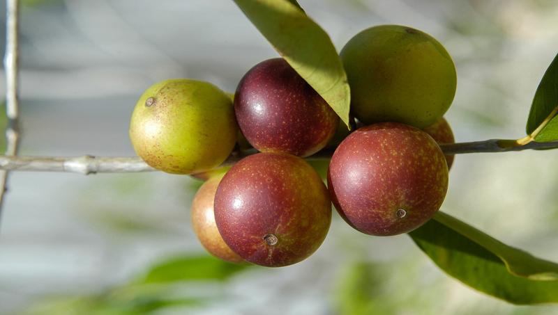 camu camu petits fruits camu camu sur une branche