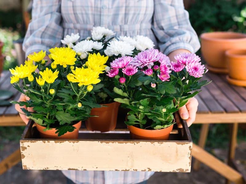 chrysanthemes fleurs septembre à planter en début d automne