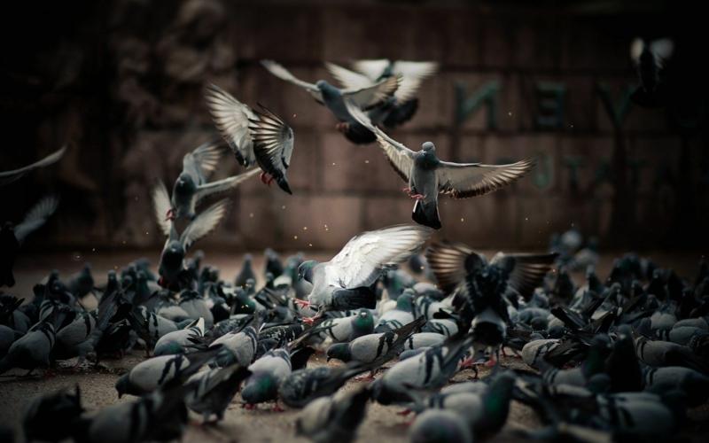 comment éloigner les pigeons beaucoup de pigeons sur la place