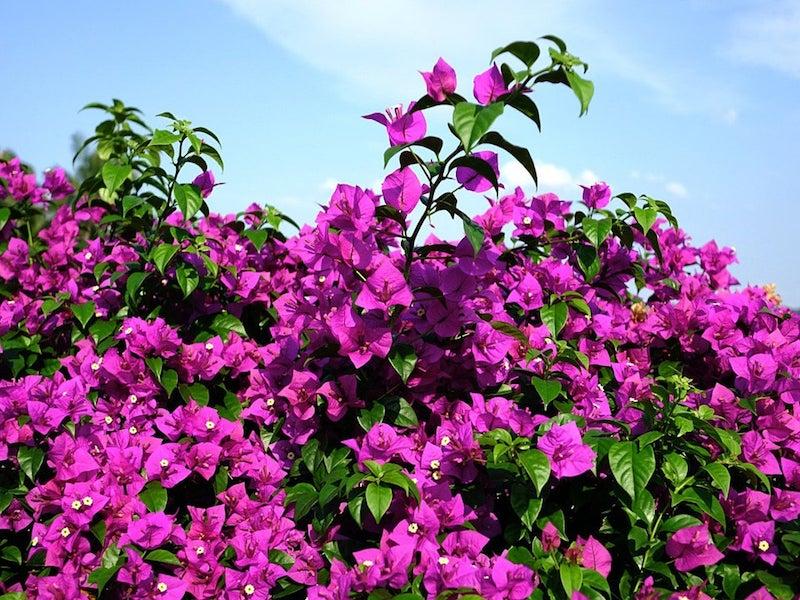 comment accrocher un bougainvillier violet sur le mur