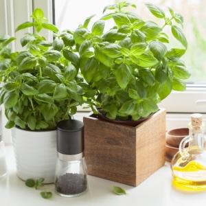 Basilic en pot - nos conseils et astuces comment le cultiver