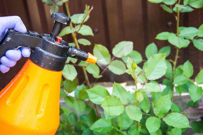 comment éliminer les pucerons à l aide d un spray fait maison