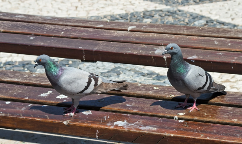 pigeon's on a park bench