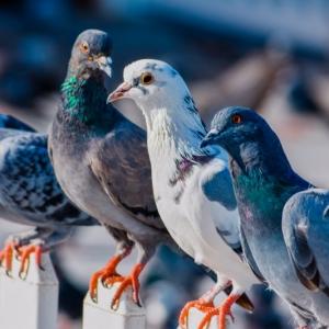 Comment faire fuir les pigeons - nous avons trouvé la solution !