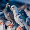 comment faire fuir les pigeons plusieurs pigeons sur la clôture