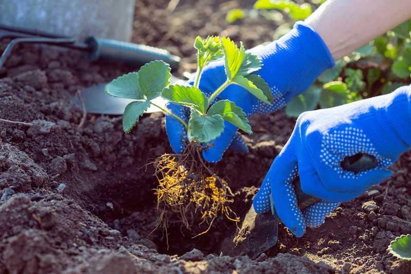 comment planter fraisier exemple fruits septembre floraison printemps