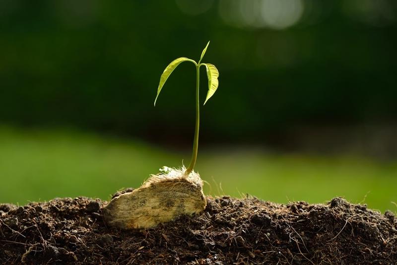 conditions climat humide comment planter un noyau de mangue