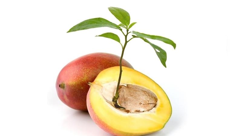 dans quel sens planter un noyau de mangue