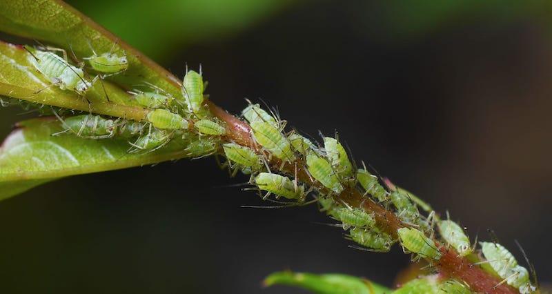 dosage savon noir pucerons sur une tige de plante extérieure