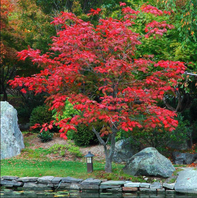 érable du japon jardin exotique avec bassin d eau et pierres