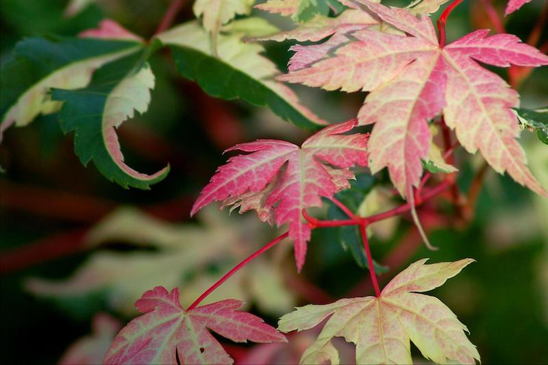 érable palmé feuillage vert et rouge plante d extérieur