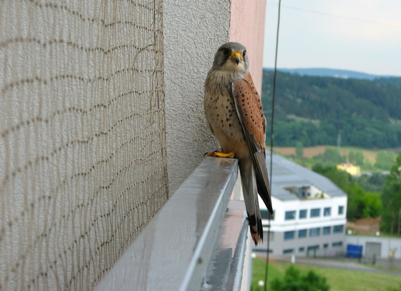 free image/jpeg resolution: 2515x1832, file size: 1.1mb, bird predator on the balcony