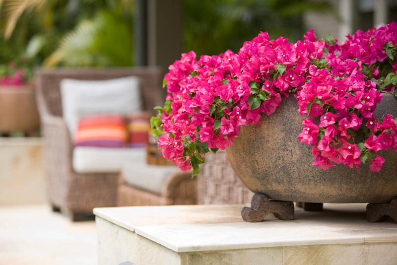 entretien bougainvillier en pot plante d extérieur