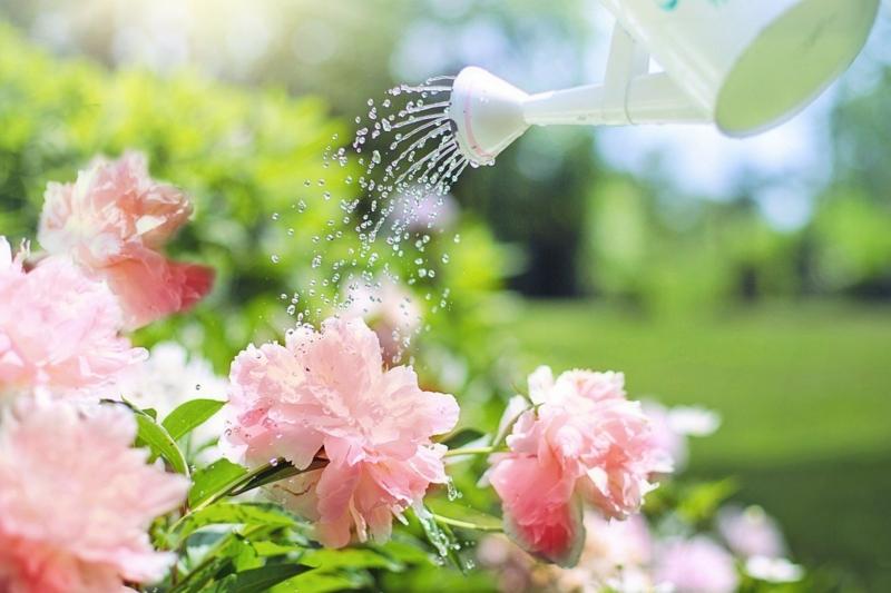 entretien pivoine arroser une pivoine rose sous le soleil