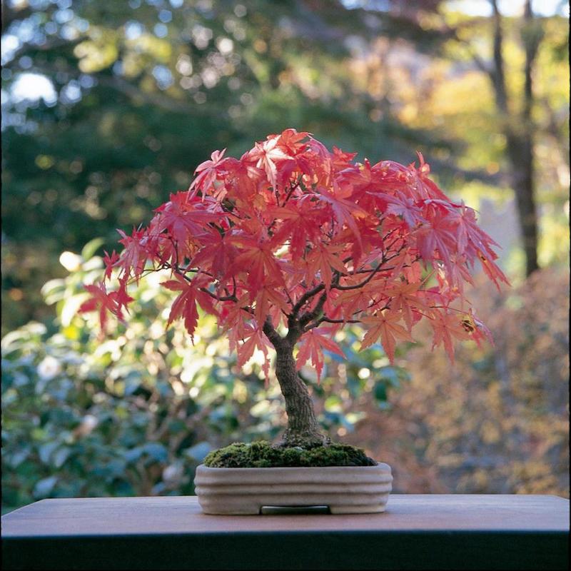 erable du japon en pot bonsaï a feuilles rouges