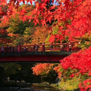 L'érable du japon - une plante offrant un spectacle de couleurs inoubliable