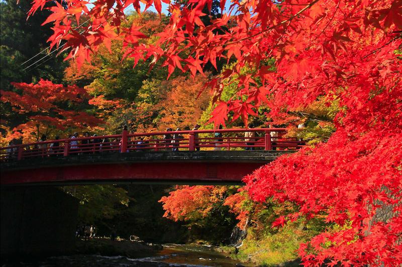erable du japon taille arbre à feuillage rouge près d un pont