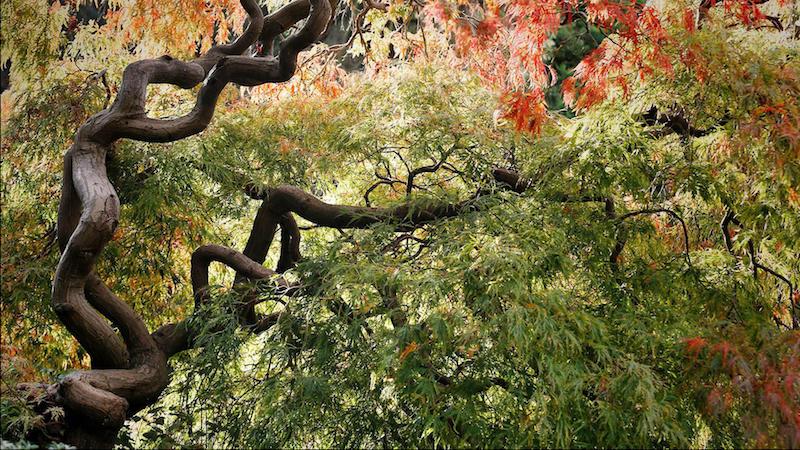 erable du japon taille arbre à feuillage vert rouge