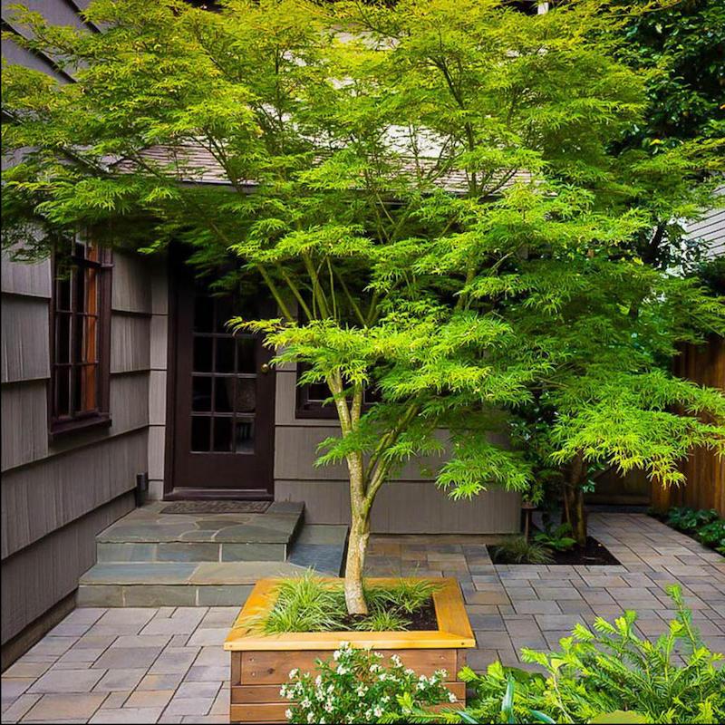 erable japonais arbre pour planter en jardin a feuilles vertes