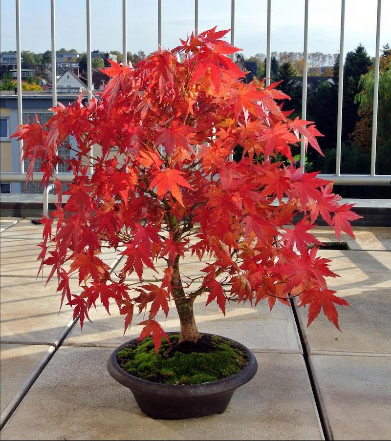 erable japonais en pot sur la terrasse feuillage rouge
