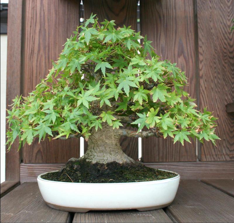 erable japonais nain a installer à l intérieur feuilles vertes