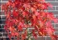 L'érable du japon – une plante offrant un spectacle de couleurs inoubliable
