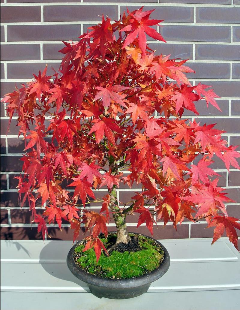 erable japonais nain plante d intérieur a feuillage rouge