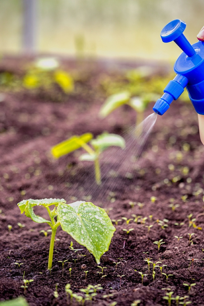 top dressing of new cucumber seedlings plant with liquid fertilizer from the scatterer