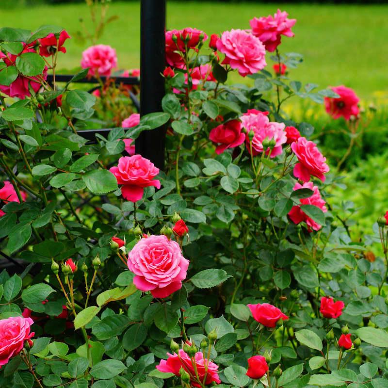 fleurs de saison septembre rosier rose au feuillage vert