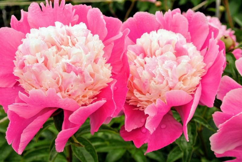 floraison pivoine floraison à forme double d une pivoine rose