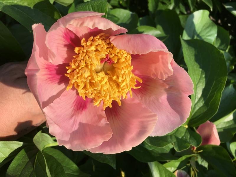 floraison pivoine floraison à forme simple d une pivoine rose