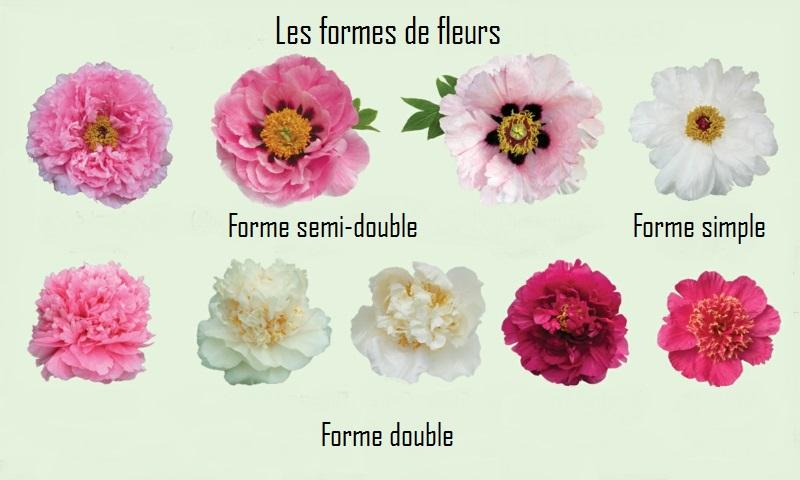 floraison pivoine un tableau des différentes formes de pivoine