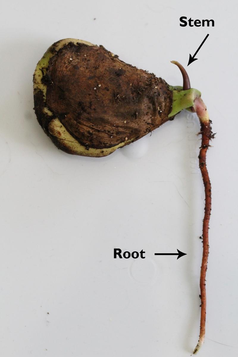 germer noyau mangue racines deux semaines faire pousser mangue