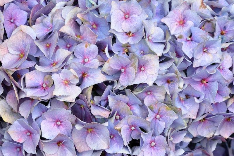 hortensia de couleur pourpre dans le jardin d automne