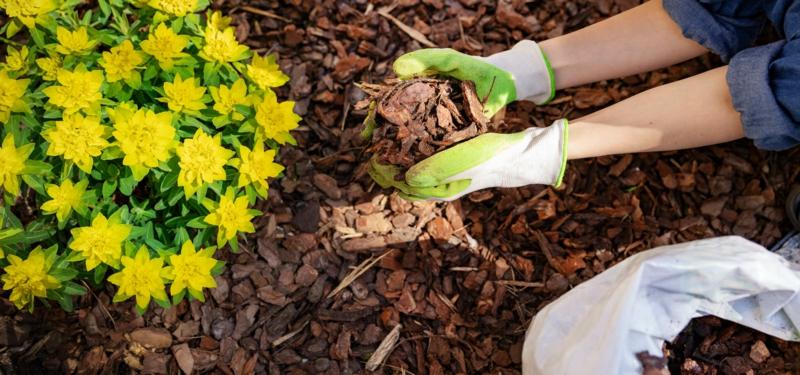 paillage de une femme qui paille ses fleurs jaunesjpeg