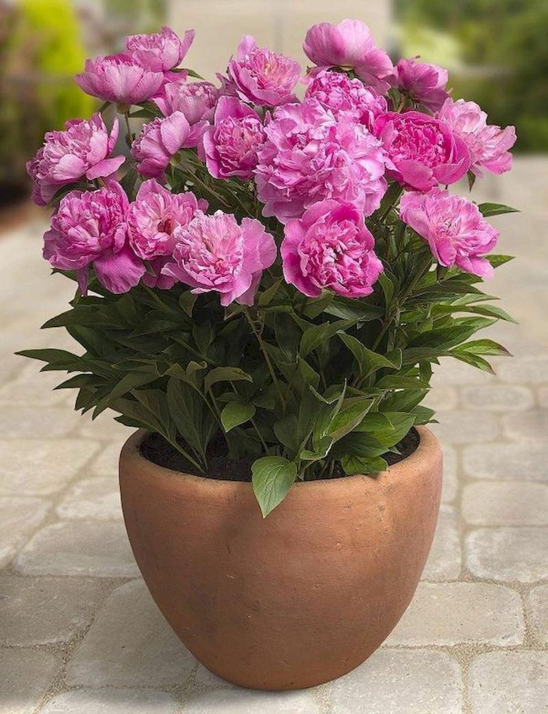 pivoine arbustive une pivoine rose dans un pot d'argile