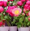 pivoine en pot des pivoines roses et rouges en pot