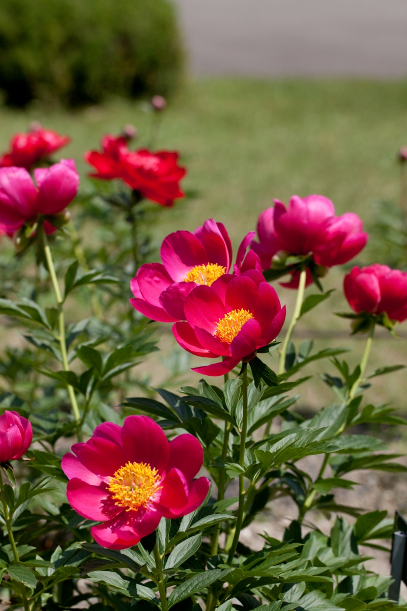 pivoine herbacée une pivoine rose dans le jardin