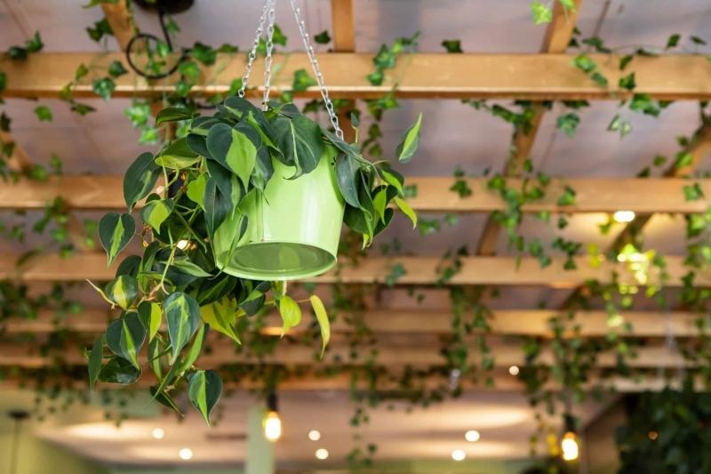 plafond avec poutres bois apparentes plante grimpante interieur crochets suspension
