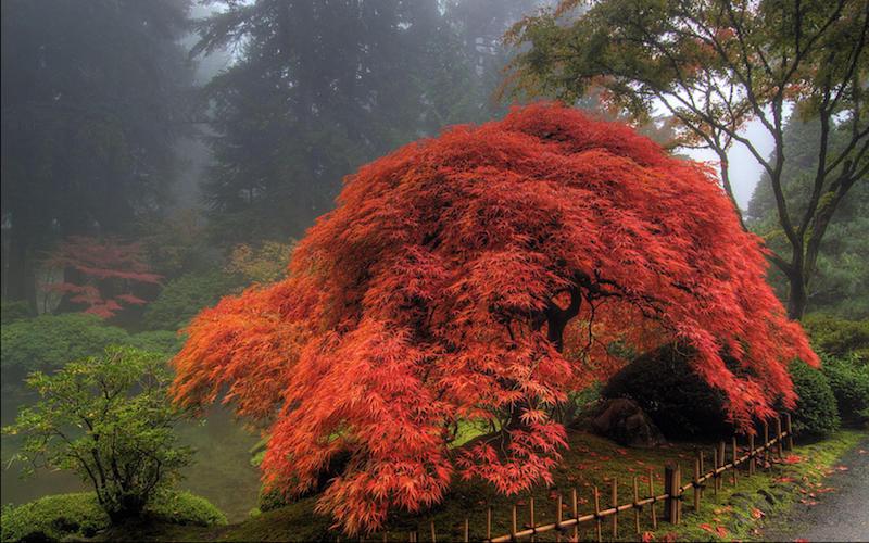 plantation erable du japon en pleine terre arbre à feuilles rouges