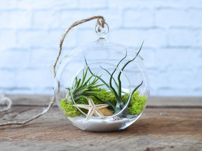 plante pour terrarium sable étoile de mer plantes aériennes terrarium suspendu
