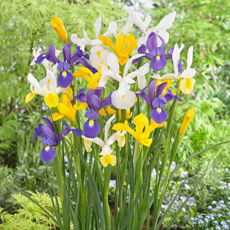planter des iris exemple fleurs de septembre semis