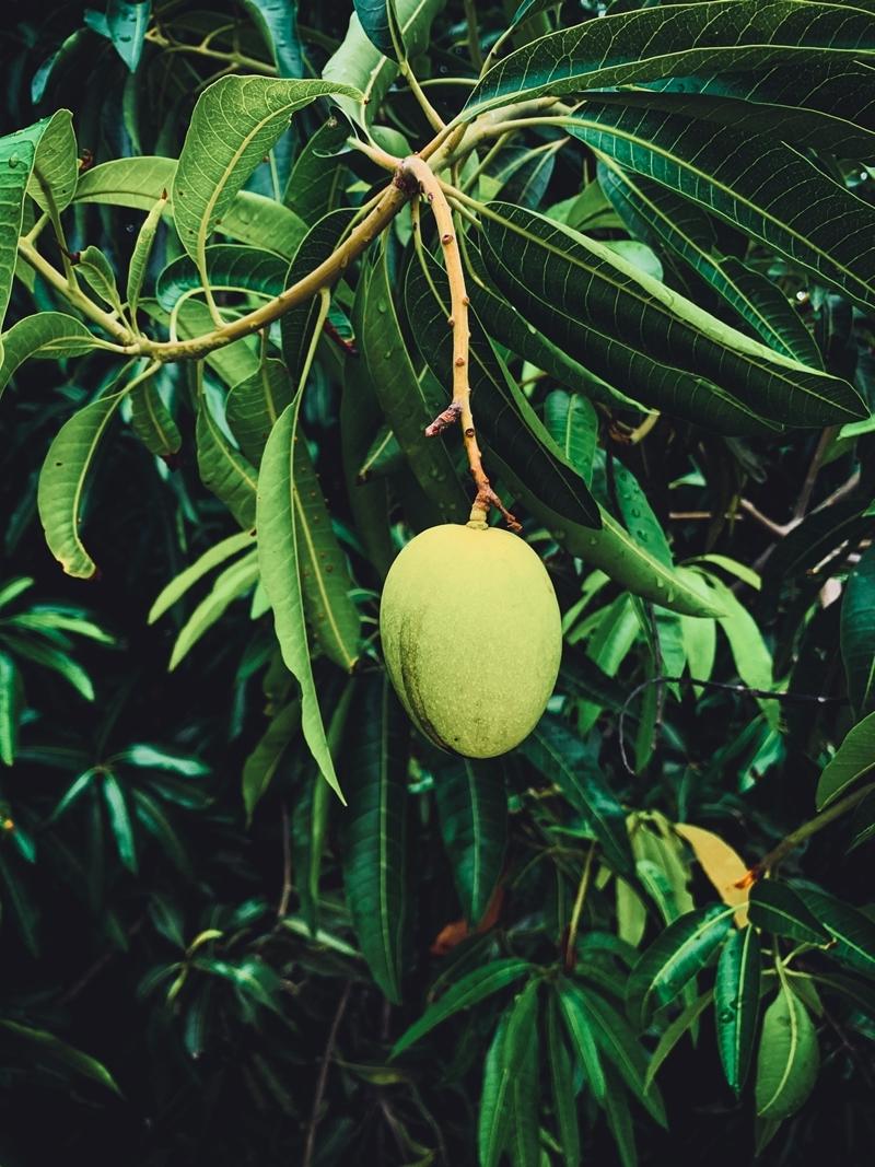 planter noyau mangue arbre jardin cultivation fruits tropicaux maison