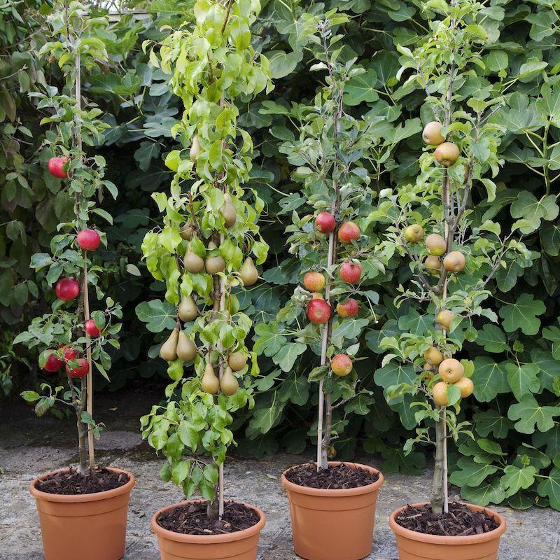 planter pommier en conteneur pot de fleur large plantation pommier poirier maison