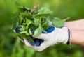 Le purin d'ortie – les bienfaits et les dangers. Informez-vous !