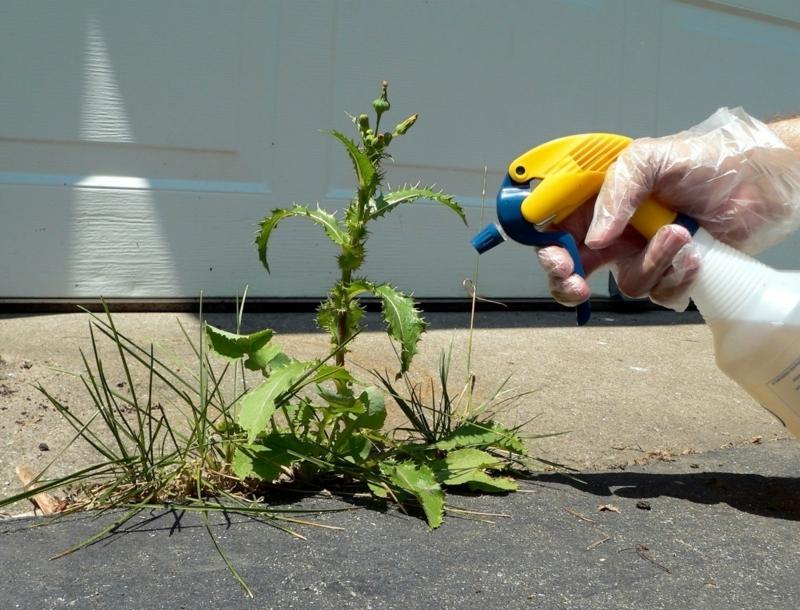 purin d ortie desherbant lutter conte les mauvaises herbes