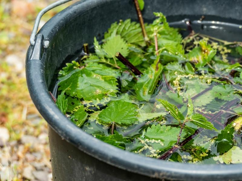 purin d ortie recette l'ortie cueillie dans un bac d eau