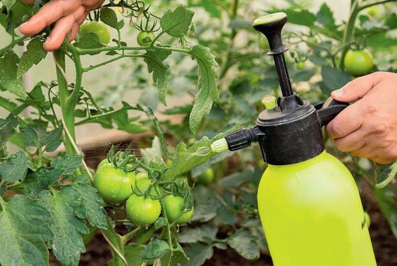 purin d ortie tomate fertiliser les tomates du purin d ortie