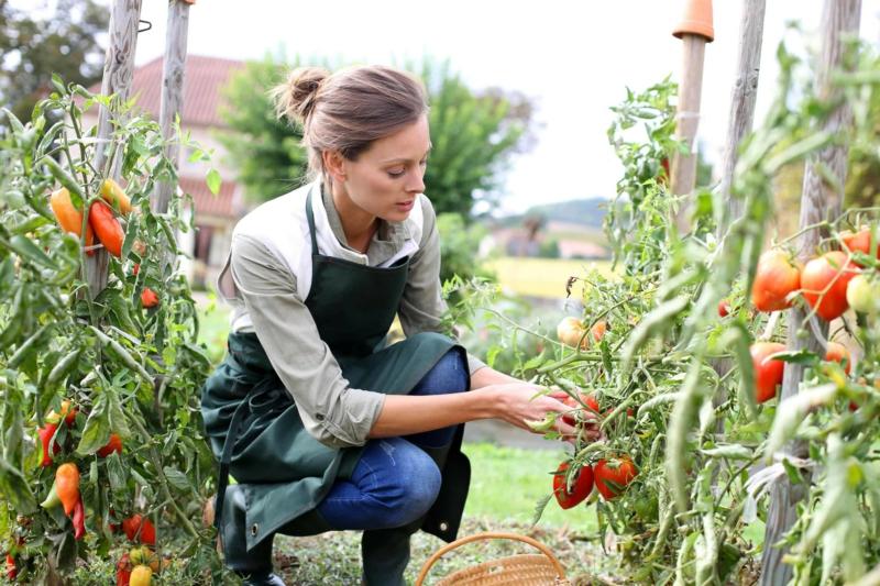 purin d ortie utilisation une femme qui cueille des tomates